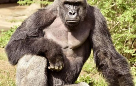A Fallen Hero: The Legacy of Harambe