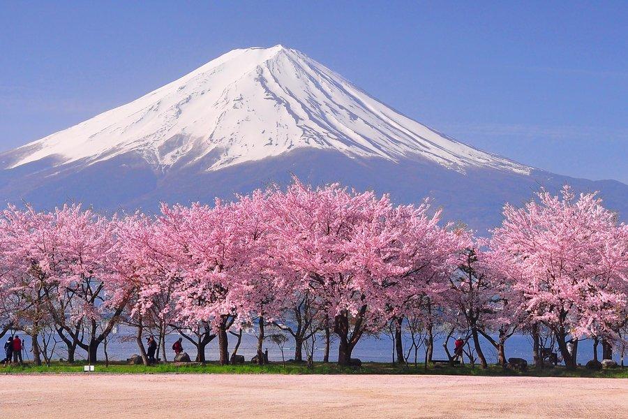 Fuji and Sakura Blossom at Kawaguchiko.